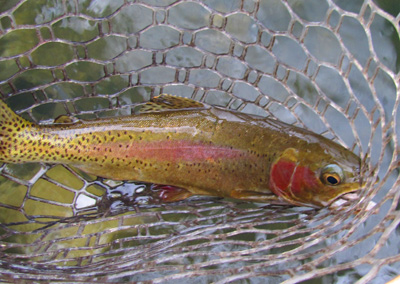 Clinch Rainbow Trout
