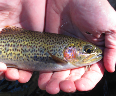 One of many rainbows caught by the Moak boys on dry flies