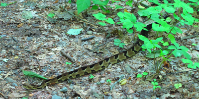 A timber rattlesnake creeps out onto the trail