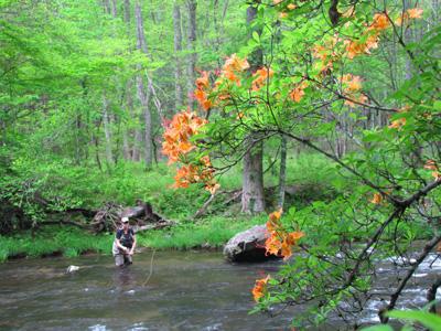 Flame Azalea along a Smoky Mountain stream