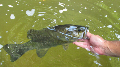 Smallmouth Bass in water