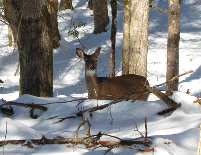A deer in the snow in Cades Cove