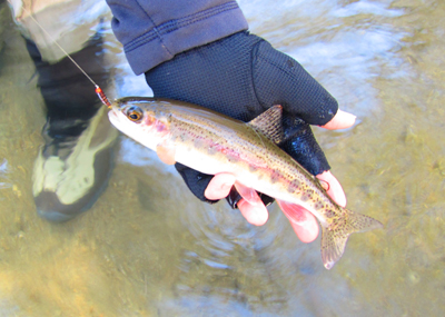 Abrams Creek Rainbow trout