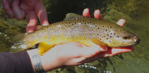 Solid Smokies Brown Trout