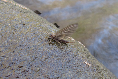 Quill Gordon Mayfly