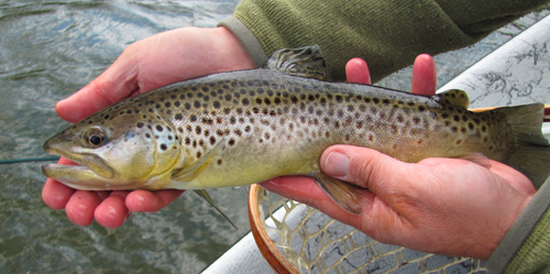 Tuckaseegee Brown Trout