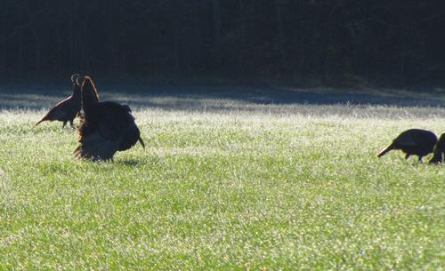 Strutting wild turkeys