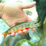 Lynn Camp Prong Brook Trout Restoration Update