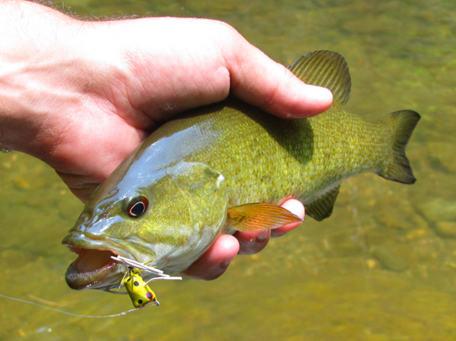 Creekin 39 for smallies r and r fly fishing for Fishing poppers for bass