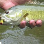Video Blog – Fly Fishing for Smallmouth Bass with Poppers