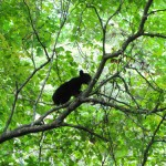 A Big Year for Black Bears