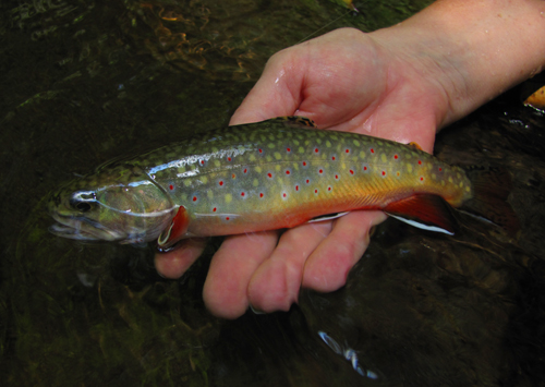 Smoky Mountain BrookTrout