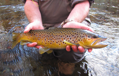 A large, beautiful wild brown trout