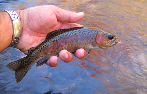 Colorful Smoky Mountain Rainbow Trout