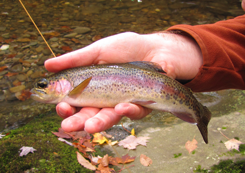 Beautiful Smoky Mountain rainbow trout caught on a dry fly