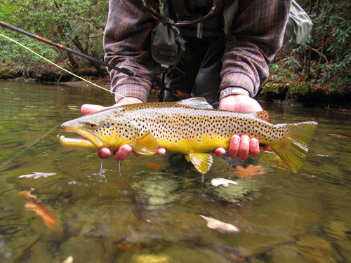 Huge wild brown trout from the Smoky Mountains