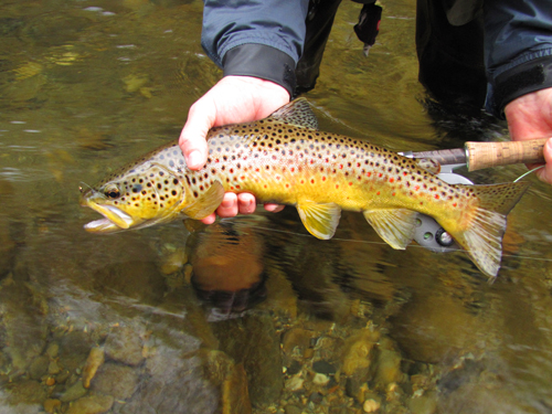 "18"" Smoky Mountain brown trout"