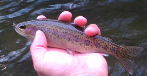 Winter rainbow trout from the Smoky Mountains