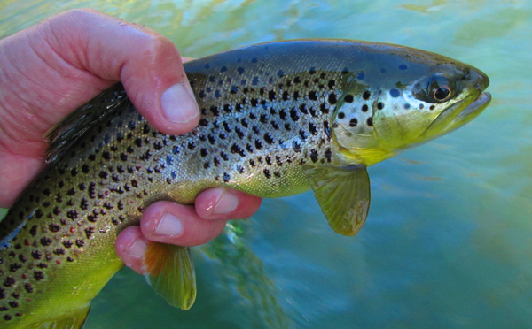 Clinch River Brown trout