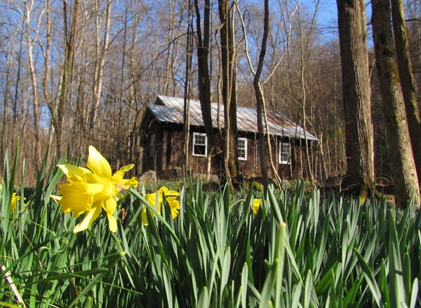 Daffodils near an old cabin at Elkmont in the Smokies