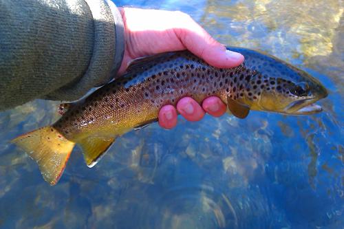 Little River Brown Trout