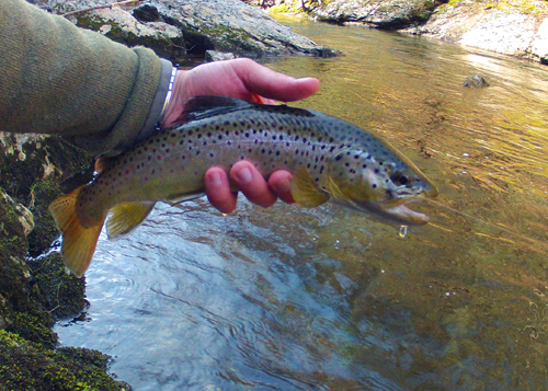 This brown trout ate a Quill Gordon dry fly