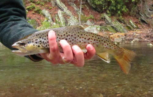 Brown Trout Caught on a Quill Gordon Imitation