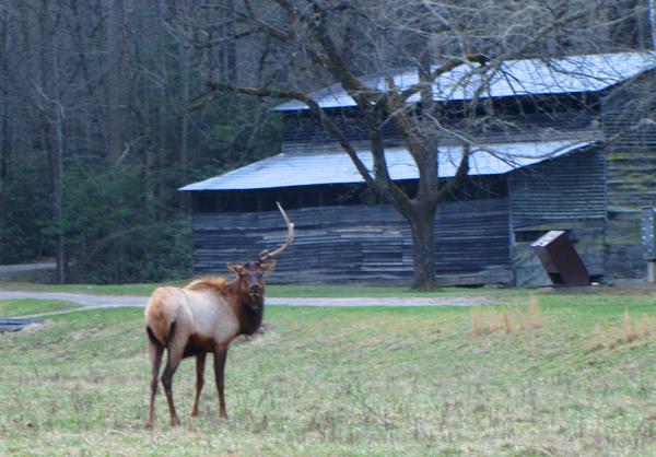 Elk with one antler