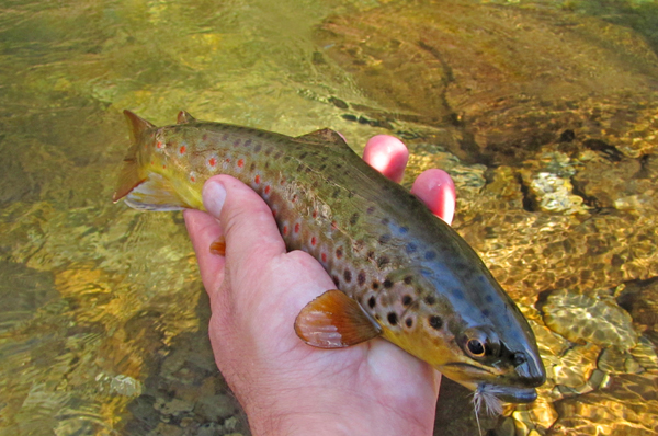 Smoky Mountains brown trout caught on a dry fly