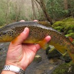 Quick Pics: Dry Fly Brown Trout