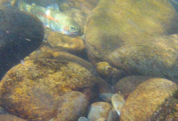 Rainbow trout under water