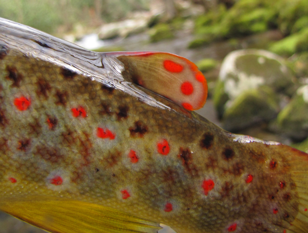 Brown Trout Adipose Fin