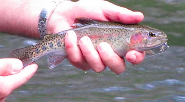 Rainbow trout caught on Tenkara