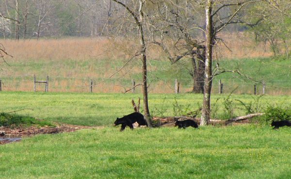 Black bears in Cades Cove