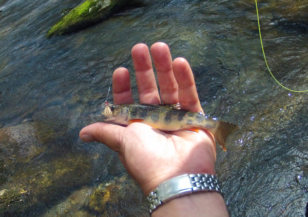 Elkmont Brook trout