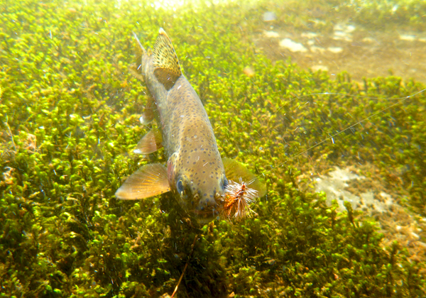 Underwater Rainbow Trout over Moss with Stimulator
