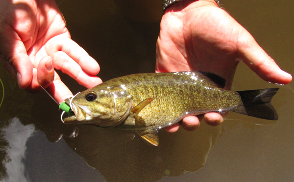 Creek Smallmouth Bass