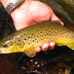 Golden Stoneflies in the Smokies