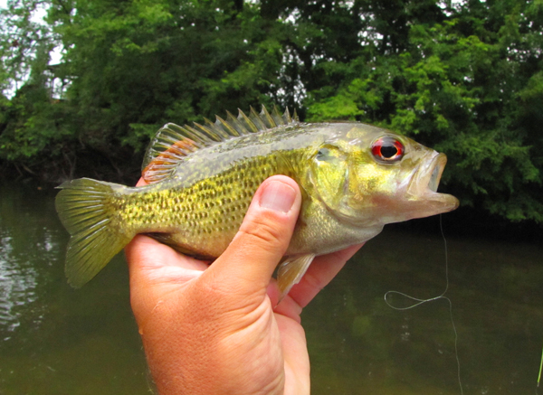Red Eye, also known as Rock Bass