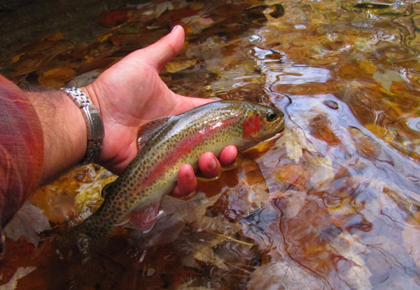 Autumn Rainbow Trout