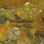 Spawning Brook Trout in the Smoky Mountains