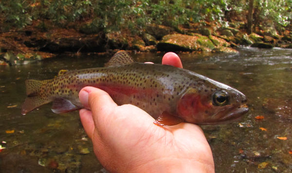Hazel Creek rainbow trout