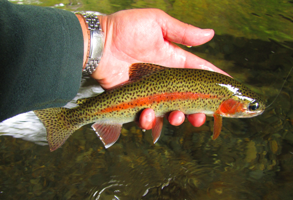 Colorful Fall Rainbow Trout
