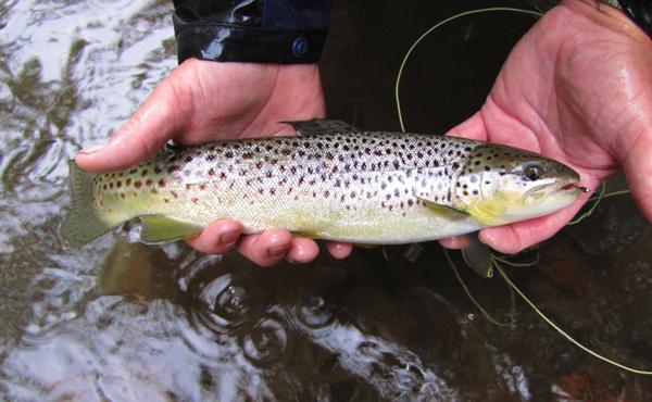 Smoky Mountain brown trout