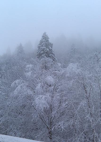 Snowy trees on Newfound Gap Road