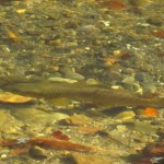 Big Brown Trout Shallow