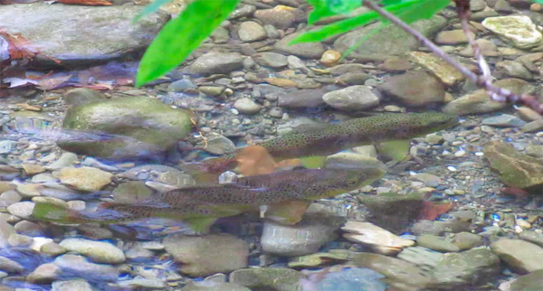 A pair of brown trout