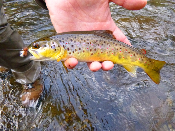 Smokies Brown Trout with a Thunderhead