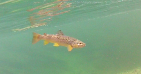 Brown Trout Swimming