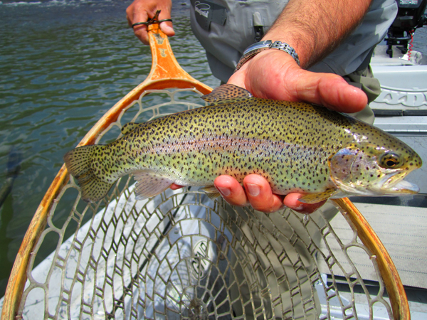 Holston River Rainbow Trout